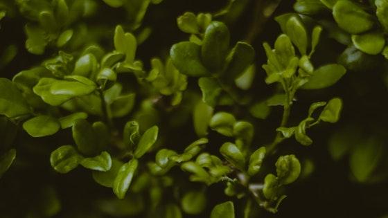 Bacopa Monnieri plant uses for memory