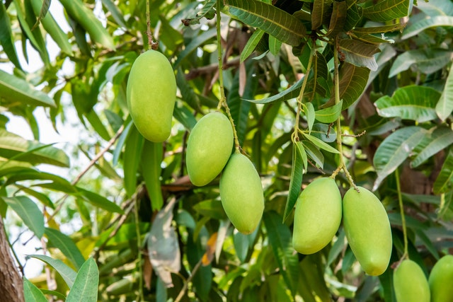 Mango leaf extract affects on brain power